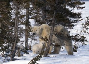polar bear mother with her cubs behind pine trees in winter