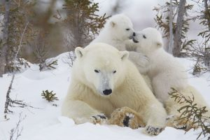 white polar bears mother and her two cubs